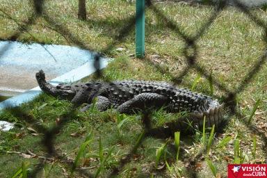 Uno de los cocodrilos que pueden apreciar los pequeños que acuden al Parque Infantil Rubén Bravo de la ciudad de Holguín. VDC FOTO/Luis Ernesto Ruiz Martínez.