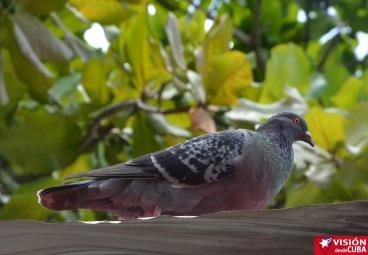 Una de las varias palomas que habitan en el Parque Infantil Rubén Bravo de la ciudad de Holguín. VDC FOTO/Luis Ernesto Ruiz Martínez.