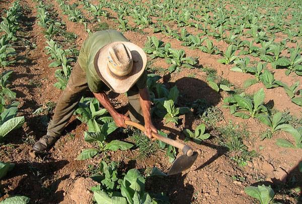 Campesino holguinero en plena faena agrícola.